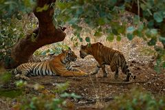Tiger laying, green vegetation. Wild Asia. Couple of Indian tiger, male in left, female in right, first rain, wild animal, nature. India stock images