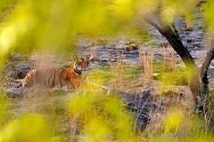 Tiger laying, green vegetation. Wild Asia. Indian tiger, wild animal in nature habitat, Ranthambore, India. Big cat, endangered an. Imal stock images