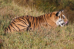 Tiger laying by mountain stream Royalty Free Stock Image