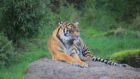 Tiger laying on a rock. A tiger laying on a rock next to grass stock video footage