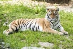 Tiger laying Stock Photo