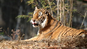 Tiger laying. stock video footage