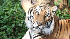 Tiger laying. stock footage