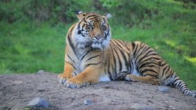 Content tiger on a rock. A tiger lays contently on a rock stock video footage