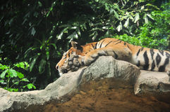 Tiger lays down on the cliff Stock Photos
