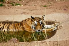 Tiger lazing in a water hole Stock Photos