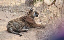 Tiger in Leben-Schongebiet Park Ranthambhore wildem Lizenzfreie Stockfotos