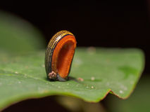 Tiger Leech Haemadipsa Picta. Lurking on a leaf in bornean jungle Royalty Free Stock Image