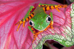 Tiger Leg Monkey Frog Stock Images
