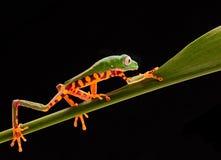 Tiger leg monkey tree frog, Phyllomadusa tomopterna. Tropical treefrog from Amazon rain forest and an endangered animal stock photography