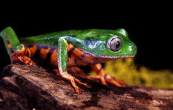 Tiger Leg Tree Frog Images libres de droits