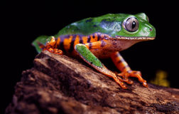 Tiger Leg Tree Frog Stock Photos