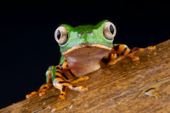 Tiger legged monkey tree frog. Phyllomedusa hypochondrialis is a species of frog in the Hylidae family. It is found in Argentina, Bolivia, Brazil, Colombia royalty free stock image