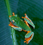 Tiger legged monkey tree frog. A beautiful south American tree frog leaping through its dense jungle surrounds royalty free stock photos