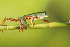 Tiger legged tree Frog on bamboo Stock Photography