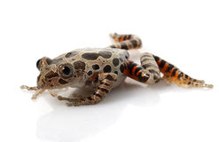 Tiger-Legged Walking Frog Royalty Free Stock Image