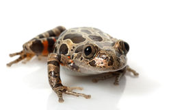 Tiger-Legged Walking Frog Stock Photography