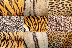 Tiger and leopard different real patterns Stock Photos