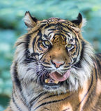 Tiger licking Royalty Free Stock Photo