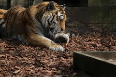 Tiger. A Tiger licking its paw Royalty Free Stock Photo