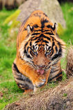 Tiger licking its paws Royalty Free Stock Images