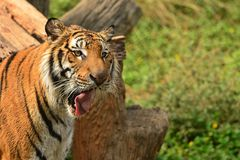 Tiger licking lip Royalty Free Stock Photography