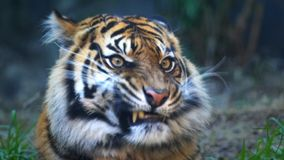Tiger licking lips. Close up of a tiger licking its lips stock video footage