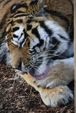 Tiger licks its paws Stock Images