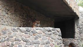 Tiger Lies In Aviary banque de vidéos