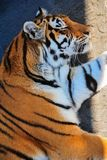 Tiger lies, eyes closed, close-up. Large red striped tiger lies on a concrete platform, eyes closed, close-up royalty free stock image