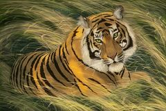 Tiger lies in a grass. Tiger lies in a yellow-green grass Royalty Free Stock Photos