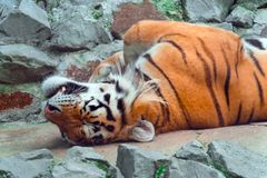 The tiger lies on its back on the rocks and enjoys the rest royalty free stock photography