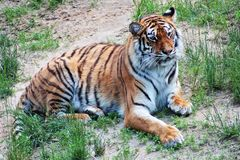 Secret life. Hiding. Tiger. stock images