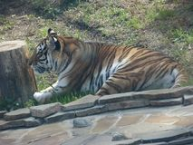 The African tiger is a predatory cat from the cat and striped royalty free stock images