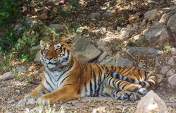 Tiger lies in the shade on the rocks Stock Photography