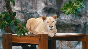 The tiger lies on a wooden table in Khao Kheow Open Zoo. Thailand stock video footage