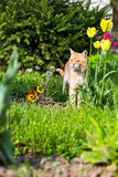 Tiger like cat, in the flowers garden. Orange and white colored domestic cat, hunting in the flowers garden Royalty Free Stock Photo
