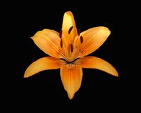 Tiger-Lilie auf Schwarzem Lizenzfreies Stockbild