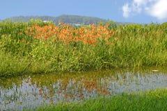 Tiger Lilies Royaltyfri Fotografi