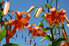 Tiger lilies Royalty Free Stock Photo