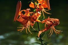 Tiger Lilies av St Joe Royaltyfri Bild