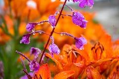 Tiger Lilies Een wilde oranje tijgerlelie Sluit omhoog van bloeiende oranje lelies met waterdalingen royalty-vrije stock fotografie