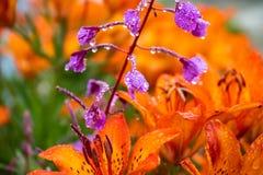 Tiger Lilies Een wilde oranje tijgerlelie Sluit omhoog van bloeiende oranje lelies met waterdalingen stock fotografie