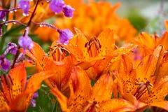 Tiger Lilies Een wilde oranje tijgerlelie Sluit omhoog van bloeiende oranje lelies met waterdalingen Royalty-vrije Stock Afbeeldingen