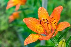 Tiger Lilies Een wilde oranje tijgerlelie Sluit omhoog van bloeiende oranje lelies met waterdalingen royalty-vrije stock foto