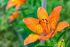 Tiger Lilies En tigerlilja för lös apelsin Slutet av blommande orange liljor med vatten tappar upp Royaltyfri Foto