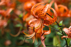 Tiger lilies. In a garden. Lilium lancifolium (syn. L. tigrinum) is one of several species of orange lily flower to which the common name Tiger Lily is applied Stock Photos