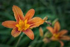 Tiger Lilies i parkera Royaltyfria Foton