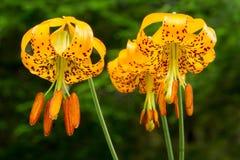 Tiger Lilies i skogen fotografering för bildbyråer