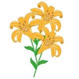 Tiger Lilies Isolated Objects Fotografía de archivo libre de regalías